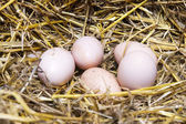 Real the hen roost with eggs. — Stock Photo