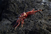 Red crab shell — Stock Photo