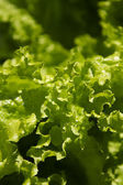 Garden lettuce — Stock Photo