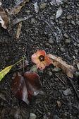Dead hibiscus — Stock Photo