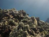 Hawaiian coral — Stockfoto