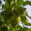 Stock Photo: Lime Tree
