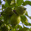 Lime Tree — Stock Photo