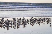 Flock of sandpiper wades — Stock Photo