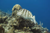 Nassau grouper — Stock Photo