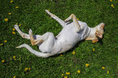Rolling in the grass — Stock Photo