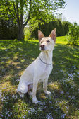 Proud dog — Stock Photo
