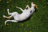 Rolling puppy — Stock Photo