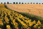 在 dobrudzha,保加利亚向日葵 — 图库照片