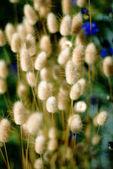 Lagurus plant,Bunny tail grass. — Stock Photo
