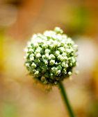 ニンニク植物. — ストック写真