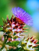 Purple, Artichoke, Flower. — Stock Photo