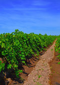 Wine, grapes, rows. — Stock Photo