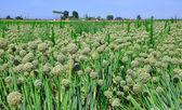Green onion seeds. — Stock Photo