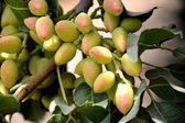 Drzewa pistacjowego. — Zdjęcie stockowe