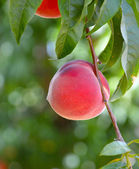 Ripe peaches on a branch.  — Stock Photo