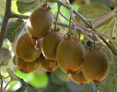 Kiwi plant. — Stock Photo