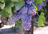 Grapes. — Stock Photo
