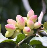 Arbre pistache. — Photo