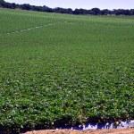 Strawberry field. — Stock Photo #50491259