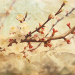 Flowering cherry sakura - Stock Photo