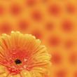 Orange Red Gerbera flower — Stock Photo