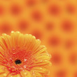 Orange Red Gerbera flower — Stock Photo
