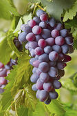 Red bunches of grape — Stock Photo