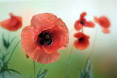 Red poppy — Fotografia Stock