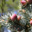 Pine tree branch, buds and cones — Stock Photo