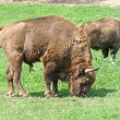 Aurochs (european bison) family — Stock Photo #12880737
