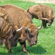 Aurochs (european bison) family - Stock Photo