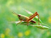 A grasshopper standing on an ear of grass — Stock fotografie
