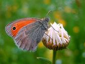 Un permanent papillon sur un bourgeon de daisy — Photo