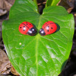 Royalty-Free Stock Photo: Ladybugs on the green leaf