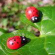 Two ladybugs on the green leaf — Stock Photo