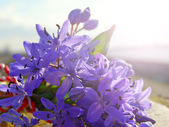 Púrpura ramo de flores silvestres de primavera — Foto de Stock