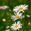 Daisy and wild summer flowers on the field — Stock Photo