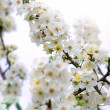 Blossoming branch with with flowers of cherry plum — Stock Photo