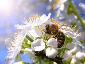 Kvetoucí větev s květinami cherry plum — Stock fotografie
