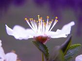 White flowers of cherry plum — Stock Photo