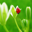 The ladybug on a spring flower — Stock Photo