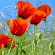 Red poppy flower isolated on clear blue sky — Stock Photo