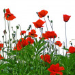 Stock Photo: Red poppies isolated on white