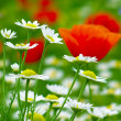 Red poppies on green field and daisies — Stock Photo