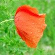Single red poppy flower — Stock Photo