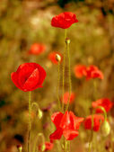 Red poppies in the grass — Stock Photo