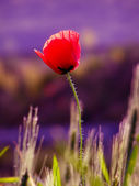 Red poppies on blue background — Stock Photo