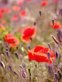 Red poppies in the grass — Stok fotoğraf