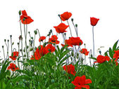 Red poppies isolated on white — Stock Photo